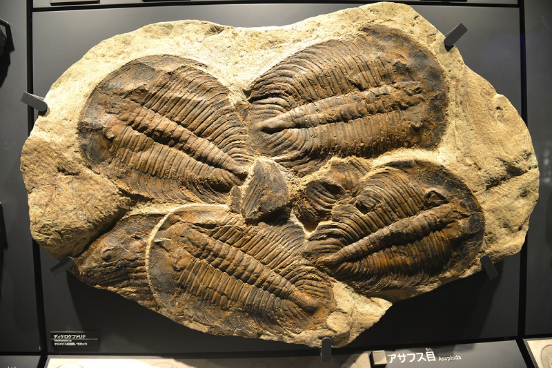 different types of trilobites