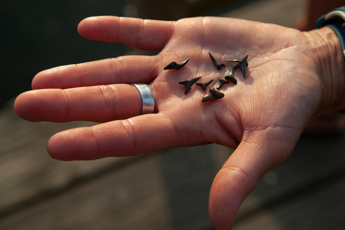 how to find shark teeth in creeks and rivers